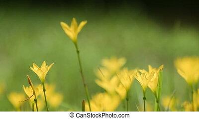 Yellow poppy flowers moving in breeze, ultra slow motion...