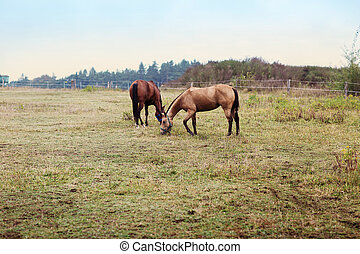 two brown horse on farm - two brown horse on rural farm
