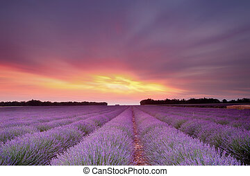 Lavender sunset - Sunset over a summer lavender field in...