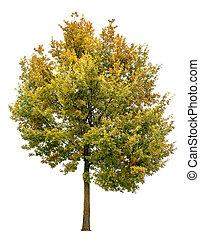 Autumnal oak tree isolated on white background