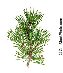 Pine tree branches with cones isolated on white