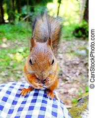Cute squirrel eating a nut, closeup