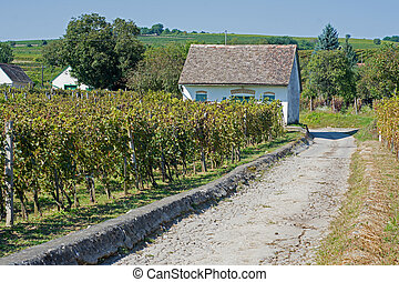 Vineyards on a Sunny Day in Autumn Harvest. Landscape with...