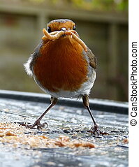 ROBIN REDBREAST - ROBIN  WITH WORMS IN BEAK