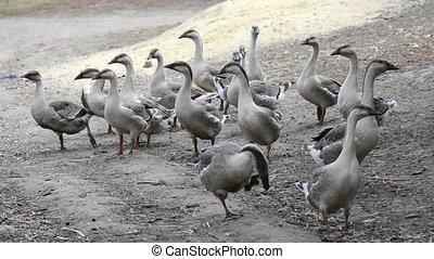 Walking grey ducks. Geese