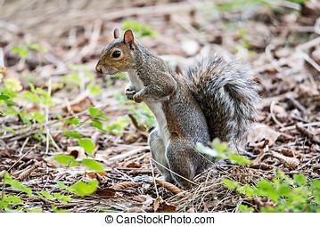omnivorous rodent squirrel on ground