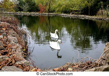 Swans in a pond in autumn - A pair of white swans swimming...