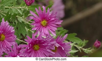 pink aster flower on green background nature leaves - pink...