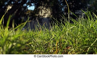 Long uncut green grass blowing in the strong wind - long...