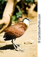 African jacana - strange bird with huge feet