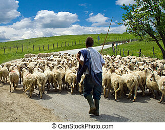 Shepherd with his sheep herd, in a romanian village