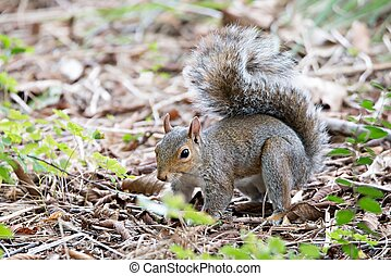 omnivorous rodent squirrel on ground