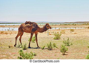Camel in Sahara desert, Morocco, Africa