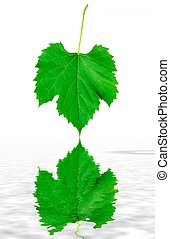 Green grape leaf reflecting in fres