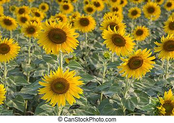 Full bloom sunflower over the field