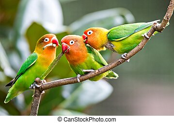Lovely sun conure parrot birds on the perch. Pair of...