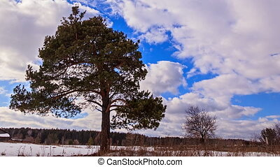 Pine against the sky. Time Lapse
