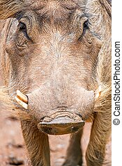 wart hog portrait looking straight at camera