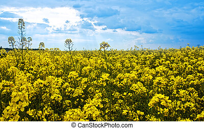 Rape yellow field and blue cloudy sky