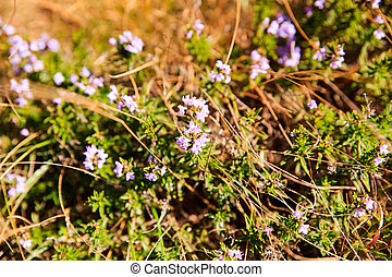 Satureja aromatic plant - View of the Satureja subspicata...
