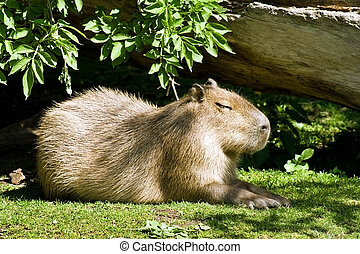 Capybara - the largest living rodent in the world close-up