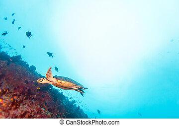 Green Sea Turtle near Coral Reef, Maldives - Swimming green...