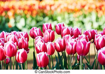 Tulips flowers field
