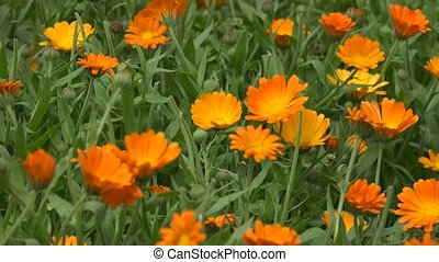 Marigold flower herb blooms move in wind in rural garden...