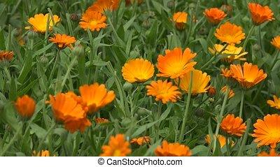 Marigold flower herb blooms move in wind in rural garden plantation. 4K