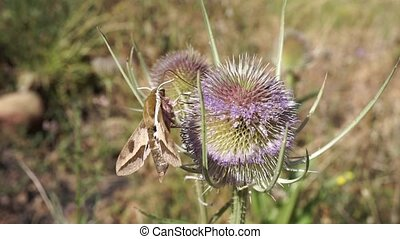 moth extracting nectar from a thistle - hawk moth extracting...