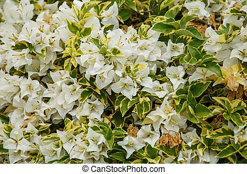 Bunch of white bougainvilleas