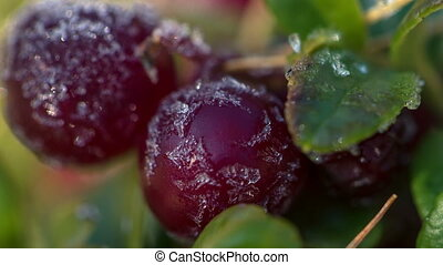 Frost melting on cow-berry plant leaves, full HD - Frost...