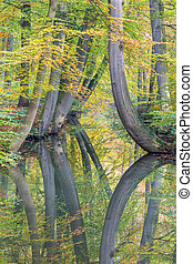 Fall tree trunks with reflection in dutch forest water