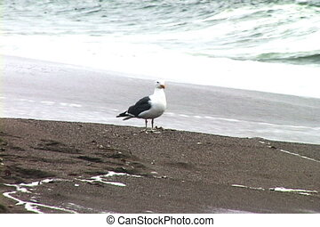 Lone seagull on beach with waves