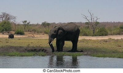 African elephant mud splash