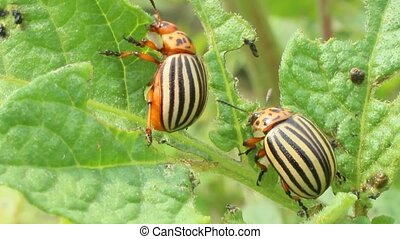 colorado beetles sitting on the leaves of potatoes -...