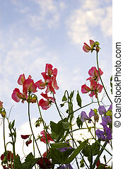 Sweetpea flowers against a blue sky.