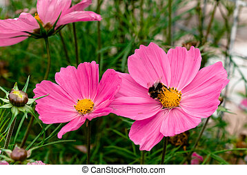 Bee on pink flowers. - Honey bee on beautiful pink flowers.