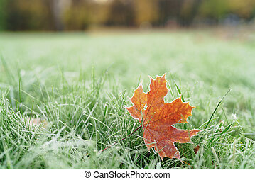 frozen maple leaf on th ground in frosty morning, shallow...