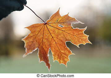 frozen maple leaf in hand, shallow focus