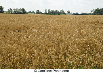 field with oat on a summer day