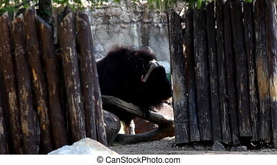 Musk ox stand near wood fence