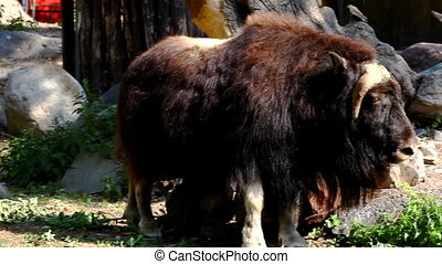 Musk ox stand near stone in zoo