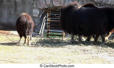 Musk ox feed in zoo