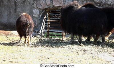 Musk ox feed in zoo