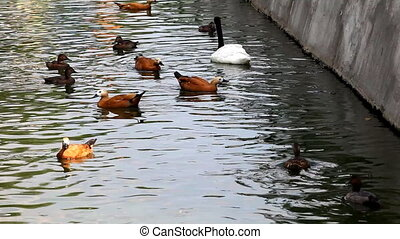 Different kind of ducks and swan feed in zoo