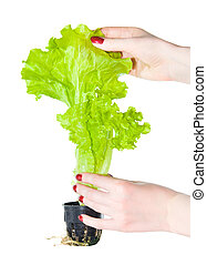 Plant with woman hands