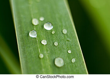 Bulrush leaf with water drops on it