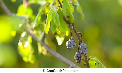 Dried fruit blue plum on a branch