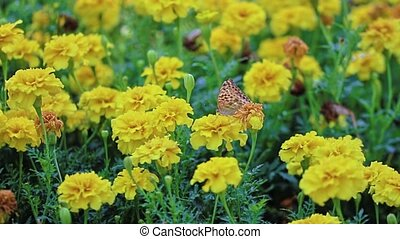 Butterfly on marigold flower - Butterfly collecting nectar...